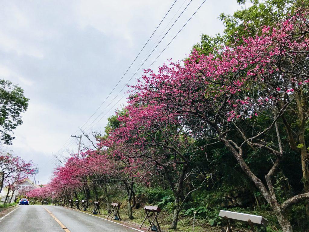沖縄、1月から2月は桜の季節「沖縄さくらの名所一覧」まつりやコスモスも