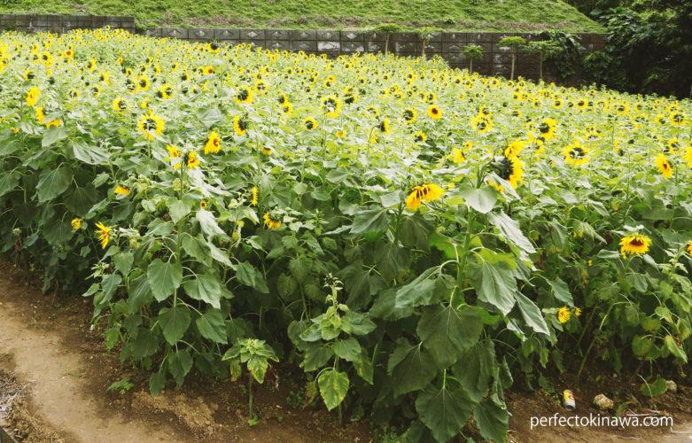 夏にも冬にも咲く沖縄の「ひまわり」畑一覧(2019)
